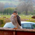 birdwatching from our B&B, sparrowhawk on the garden fence